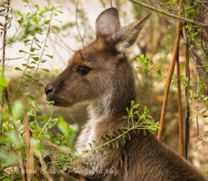 Kangaroo in bushes